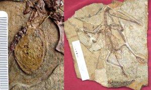 Найден скелет самки птерозавра с окаменевшим яйцом