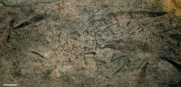 Так выглядят ископаемые остатки из Ланьтяня. Видно, что их много и они разнообразны. Беспорядочно ориентированные отпечатки свидетельствуют об отсутствии придонного течения, их ровная поверхность без складок— об отсутствии волнового перемешивания. Длина масштабной линейки 1см. Фото из дополнительных материалов к обсуждаемой статье Xunlai Yuan, etal в Nature