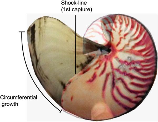Наложение двух фотографий, сделанных с интервалом в 2,5года. Хорошо видно, как совмещается рисунок полос на раковине, атакже видна шоковая линия, маркирующая момент первой поимки моллюска. Для этого экземпляра скорость роста оказалась 0,061мм вдень, что примерно соответствует средней скорости роста. Рис. из обсуждаемой статьи «Nautilus pompilius Life History and Demographics at the Osprey Reef Seamount, CoralSea, Australia» вPLoSONE