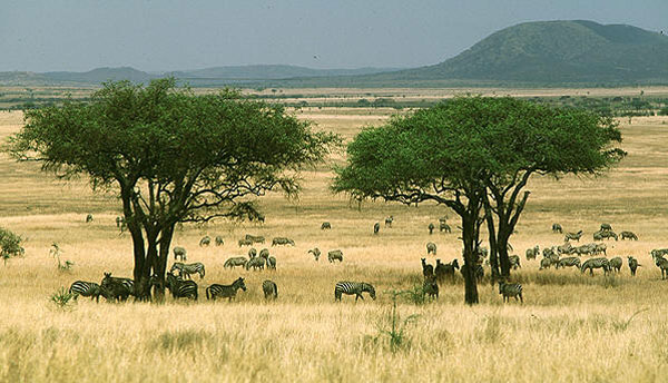 Африканская саванна— колыбель человечества. Фото с сайта film-onlin.info