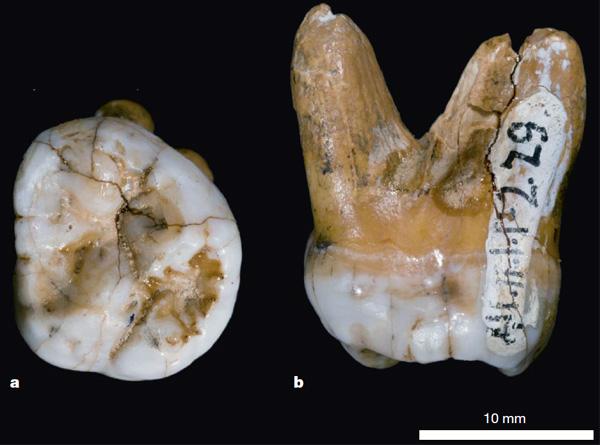 Зуб из Денисовой пещеры: слишком большой для сапиенсов, слишком примитивный для неандертальцев. Фото из обсуждаемой статьи в Nature