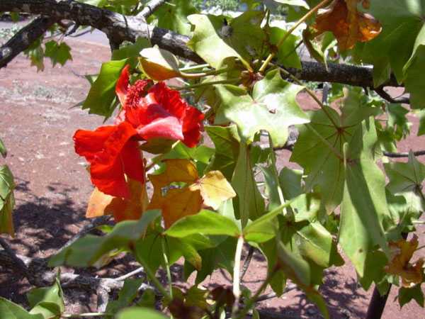 Кука цветок